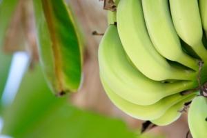 banana tree seasonal fruit